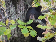 young bear in tree