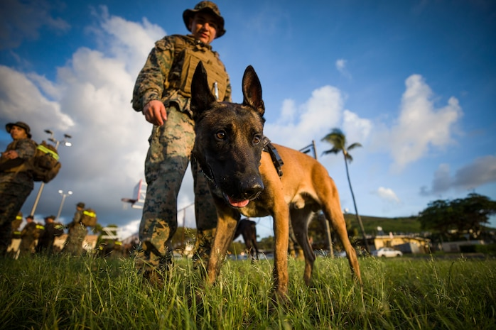 A military working dog with the Provost Marshal's Office, Headquarters Battalion, Marine Corps Base Hawaii (MCBH), participates during the battalion hike,  MCBH, Oct. 5, 2018. The purpose of the hike was to increase physical and mental stamina, build espirit de corps, and to bolster combat readiness. (U.S. Marine Corps photo by Sgt. Aaron S. Patterson)
