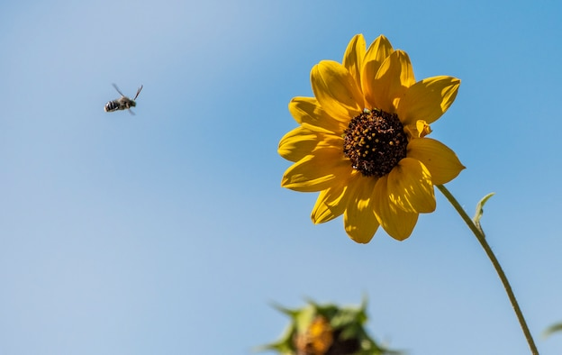 A flying insect approaches a fall blooming flower, Sept. 9, 2018, Travis Air Force Base, Calif. Helianthus californicus is a North American species of sunflower known by the common name California sunflower. (U.S. Air Force Photo by Heide Couch)