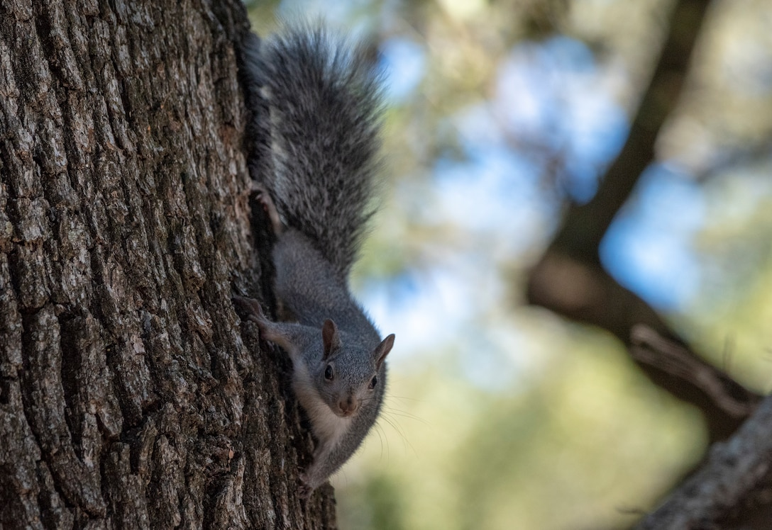 A Gray Squirrel climbs an oak tree, Sept. 16, 2018, Travis Air Force, Calif.  A squirrel's preparation for winter is a long process that actually begins in summer. By the time cooler weather hits in fall, it usually has already gathered and stored most of its food supply. (U.S. Air Force Photo by Heide Couch)