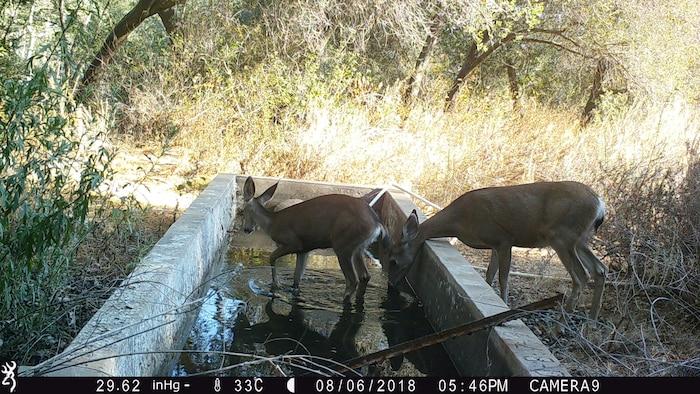 Deer Family Drinking