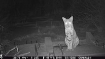 Bobcat at night