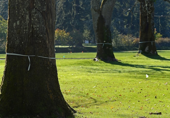 Trees wrapped in white ribbon waits to be removed and pruned during a Historical Reset project Oct. 12, 2018 on McChord Field, Joint Base Lewis McChord, Wash.