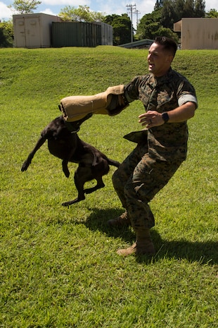 CAMP HANSEN, OKINAWA, Japan – Cpl. Alex Marquissee conducts aggression training with military working dog Oohio Aug. 31 at the kennels on Camp Hansen, Okinawa, Japan.