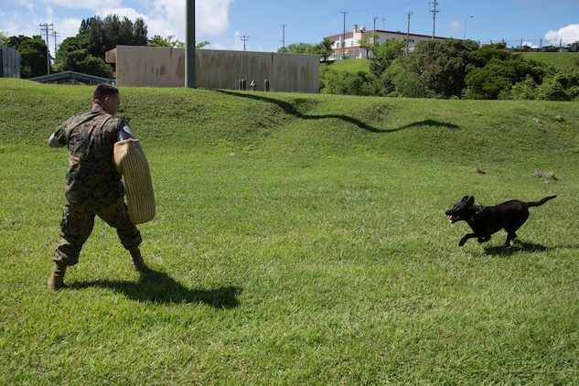 CAMP HANSEN, OKINAWA, Japan – Military working dog Oohio preforms an aggression exercise Aug. 31 at the kennels on Camp Hansen, Okinawa, Japan.