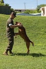 CAMP HANSEN, OKINAWA, Japan – Cpl. Alex Marquissee exercises his military working dog, Gage, Aug. 31 at the kennels on Camp Hansen, Okinawa, Japan.