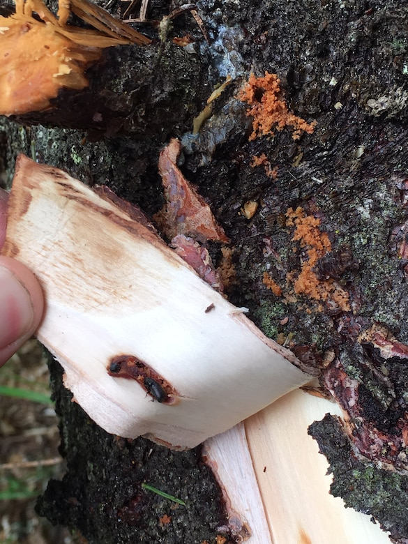 A beetle is revealed under the bark of a spruce tree during a forestry project at Joint Base Elmendorf-Richardson, Alaska, June 6, 2018. Spruce bark beetles are attacking Alaska's spruce tree population from the Kenai Peninsula to the Matanuska Valley and JBER. Spruce bark beetles typically attack trees greater than six inches in diameter. Adults burrow into the bark, leaving behind a small hole, and then mate under the bark where the female lays eggs. Based on the typical climate in Alaska, the lifecycle of the larva take about two years to mature and then emerge from the tree (usually dead at this point) and fly to the next host tree to start the cycle over again. In the past 35 years, spruce beetle outbreaks have resulted in the loss of an estimated three billion board feet of timber in Alaska.