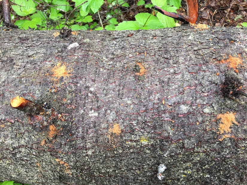 """Spruce bark beetle dung, called frass, or """"sawdust,"""" marks where a spruce bark beetle has burrowed under the bark of a spruce tree at Joint Base Elmendorf-Richardson, Alaska, June 6, 2018. Spruce bark beetles are attacking Alaska's spruce tree population from the Kenai Peninsula to the Matanuska Valley and JBER. In the past 35 years, spruce beetle outbreaks have resulted in the loss of an estimated three billion board feet of timber in Alaska."""