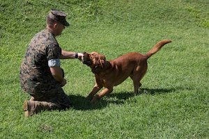 CAMP HANSEN, OKINAWA, Japan – Military working dog Gage and Cpl. Alex Marquissee play with a tennis ball Aug. 31 at the kennels on Camp Hansen, Okinawa, Japan.