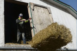 A man pushes hay out of a barn.