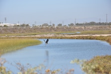 A Great Blue Heron makes its way across the Santa Ana River Marsh Sept. 15 during California Coastal Cleanup Day. It is one of several bird species that make the marsh its home.