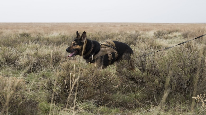 "U.S. Air Force Alf, 366th Security Forces Squadron military working dog, acts as opposition forces and hunts down ""crashed"" pilots during a combat search and rescue exercise April 2, 2019 at Saylor Creek Range near Mountain Home Air Force Base, Idaho. This is one aspect of the Gunfighter Flag exercise that tests the abilities of pilots to stay hidden until rescue arrives while military working dog trainers and their dogs hone their tracking ability in an expansive environment. (U.S. Air Force photo by Airman First Class Andrew Kobialka)"