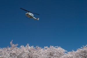 Yokota in full bloom