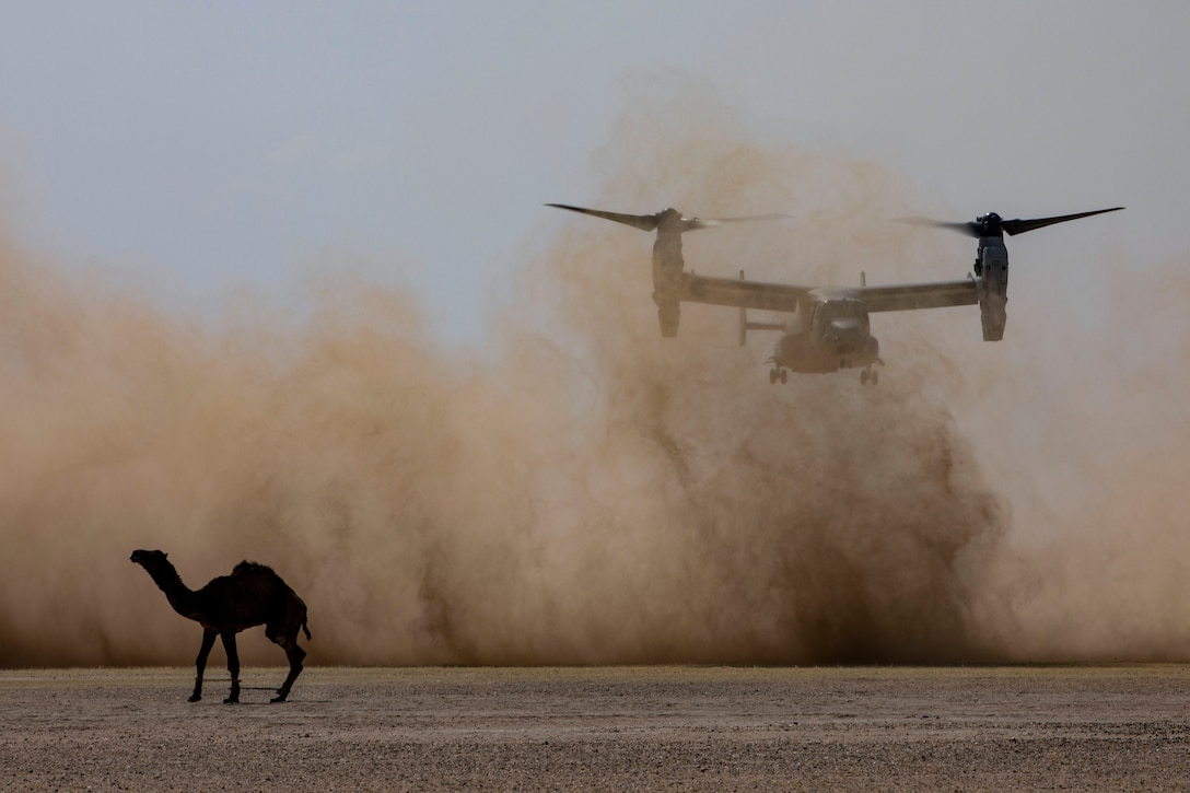 A helicopter prepares to land  with a camel walking in the foreground.