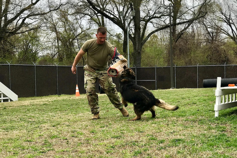 A soldier wearing a specialized padded sleeve gets bit by a military working dog.