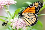 Monarch butterfly and bee on a swamp milkweed flower