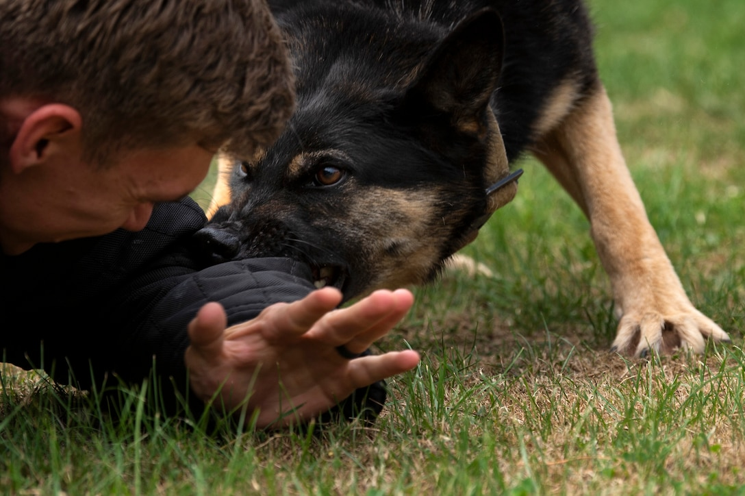 U.S. Air Force Staff Sgt. Jordan Leiter, 52nd Security Forces Squadron military working dog trainer, and Tina, an MWD, conduct training at Spangdahlem Air Base, Germany, Aug. 1, 2019. MWDs are trained to react to body language and understand their handler's commands. (U.S. Air Force photo by Airman 1st Class Valerie Seelye)