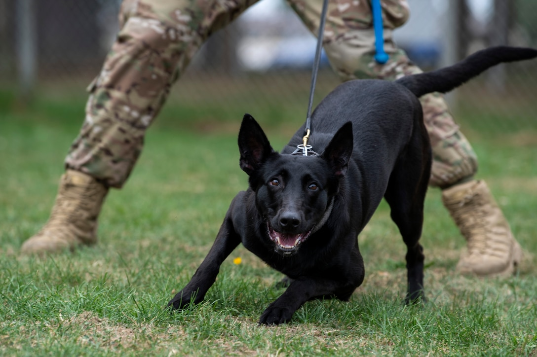U.S. Air Force Senior Airman Erik Barrera, 52nd Security Forces Squadron military working dog handler, and Ccatilina, an MWD, conduct training at Spangdahlem Air Base, Germany, Aug. 1, 2019. MWDs regularly train to exercise obedience and controlled aggression. (U.S. Air Force photo by Airman 1st Class Valerie Seelye)