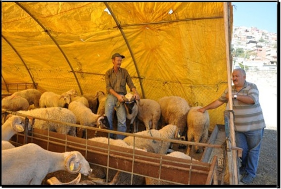 A local vendor shows sheep that are for the Sacrifice Holiday which is observed throughout the country from Aug. 11 through Aug. 14 this year.