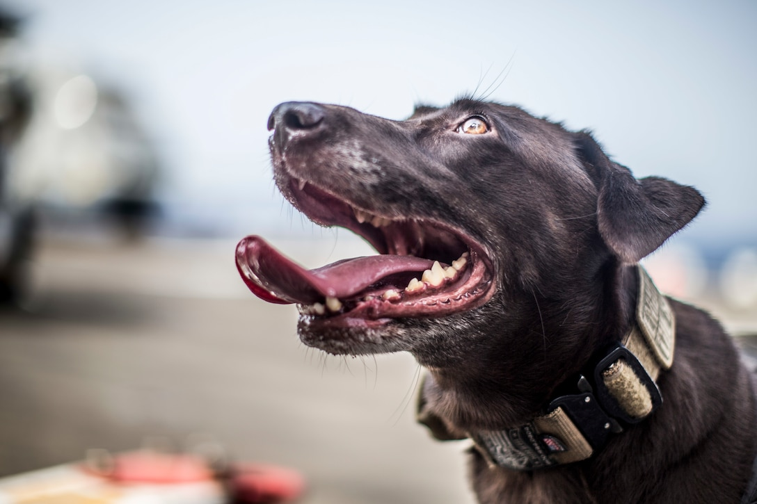 Rosie, a specialized search dog assigned to the 11th Marine Expeditionary Unit, is rewarded after a live-fire exercise aboard the amphibious assault ship USS Boxer. The Boxer Amphibious Ready Group and 11th MEU are deployed to the U.S. 5th Fleet area of operations in support of naval operations to ensure maritime stability and security in the Central Region, connecting the Mediterranean and the Pacific through the Western Indian Ocean and three strategic choke points.