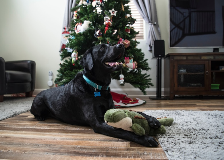 Preston, 30th Space Wing courthouse facility dog, lays in his living room after his day of work at the at Sexual Assault Prevention and Response office, Guadalupe, Calif., Dec. 5, 2019. Although most service dogs do not go home with their handler at the end of the work day, Preston is a certified courthouse facility dog that goes home with a member of the SAPR office, as he is a part of their family. (U.S. Air Force photo by Airman 1st Class Aubree Milks)