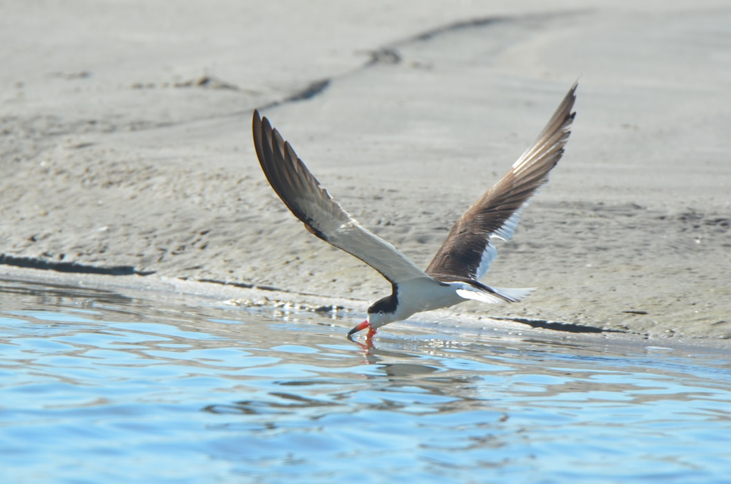Newly created colonial nesting bird habitat at Ring Island has been successfully utilized by black skimmers (pictured), common and least terns, and American oystercatchers – all state endangered species or species of special concern in the state of New Jersey.