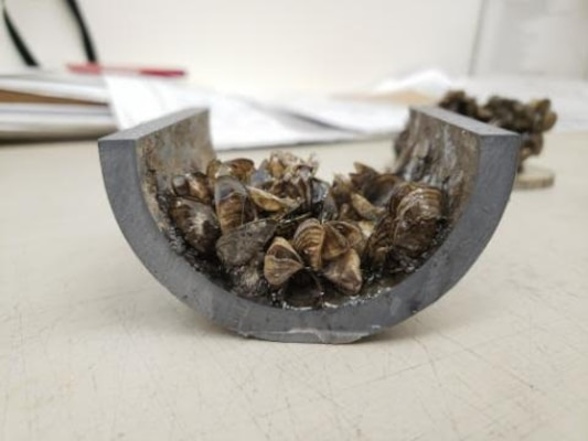 The cross-section of a pipe showing a buildup of zebra mussels found at Gavins Point Dam in Yankton, SD, photo taken Sept. 4, 2019