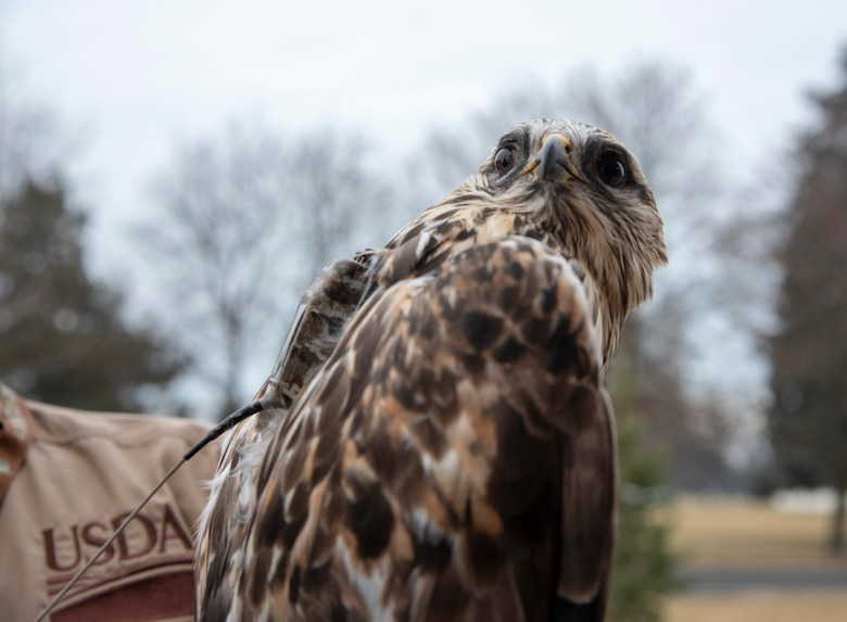 A rough-legged hawk sits with a GPS tracker strapped to its back at Fairchild Air Force Base, Washington, Dec. 6, 2019.