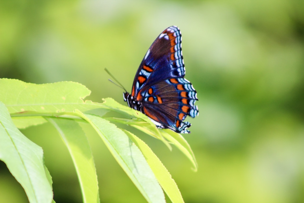 The red-spotted purple butterfly is common to Pennsylvania, it is a beautiful forest butterfly that is commonly seen in the woodland area surrounded by Francis E. Walter Dam.
