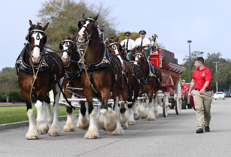 The Budweiser Clydesdales parade through the base exchange parking lot at Keesler Air Force Base, Mississippi, Feb. 7, 2019. They made their first appearance in 1933 and have been featured prominently in two presidential inaugurations. The Keesler Base Exchange hosted the event for Airmen and their families to enjoy. (U.S. Air Force photo by Kemberly Groue)