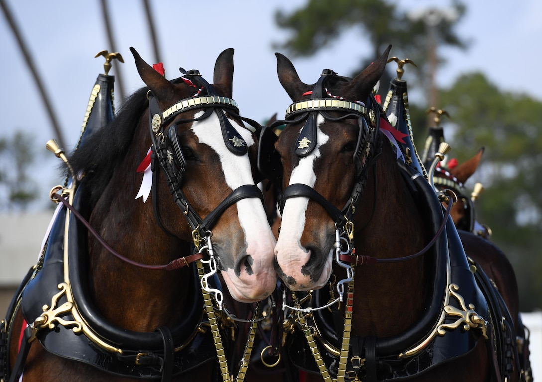 The Budweiser Clydesdales make an appearance at Keesler Air Force Base, Mississippi, Feb. 7, 2019. They made their first appearance in 1933 and have been featured prominently in two presidential inaugurations. The Keesler Base Exchange hosted the event for Airmen and their families to enjoy. (U.S. Air Force photo by Kemberly Groue)