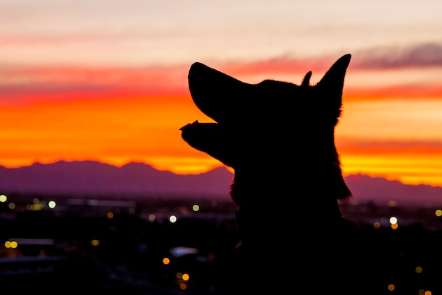 U.S. Marine Corps Military Working Dog (MWD) Ken with the Provost Marshall's Office, K9 Section, Headquarters and Headquarters Squadron, Marine Corps Air Station (MCAS) Yuma, poses for a silhouette photograph on MCAS Yuma, Jan. 18, 2019. MWD's are trained to subdue or intimidate suspects before having to use lethal force; they are also used for detecting explosives, narcotics, and other harmful materials. (U.S. Marine Corps photo by Sgt. Allison Lotz)