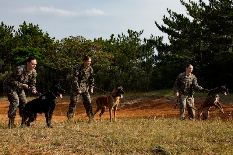 Marines conduct training with military working dogs.