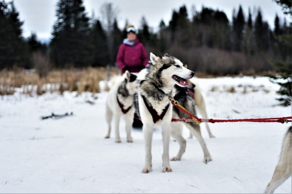 On the weekend of January 12, 2019, Malmstrom Outdoor Recreation took a group of Airmen and civilians on a weekend-long trip to Bigfork, Montana, and Flathead Lake, Montana, for two days of dogsledding and cross country skiing. Each member of the group got to mush a group of Inuit sled dogs on cross country trails. (Photograph by Kiersten McCutchan)