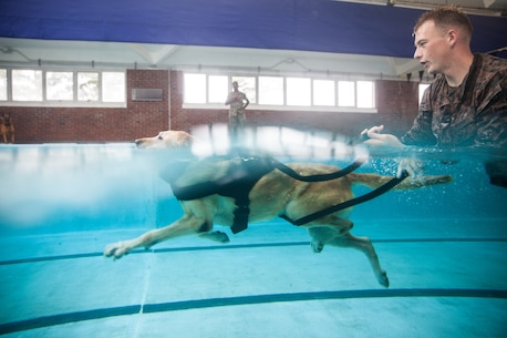 Sergeant Joseph Adams, a 2nd Law Enforcement Battalion military working dog-handler, shouts commands at his dog, Gunner, as they swim in the Area 5 pool at Marine Corps Base Camp Lejeune, N.C., Aug. 3, 2018. 2nd LEB practiced aggression training as part of specialized training to familiarize their dogs with water. The 2nd LEB military working dogs benefit from this particular type of training due to not being exposed to water tactics during initial training periods and become better accustomed to performing duties in atypical situations. (U.S. Marine Corps photo by Cpl. Austyn Saylor)