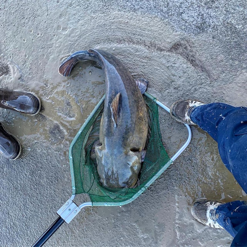 JOHN MARTIN RESERVOIR, Colo. – Potential state record alert! This behemoth catfish was relocated from the stilling basin to the reservoir upstream, Nov. 1, 2018.
