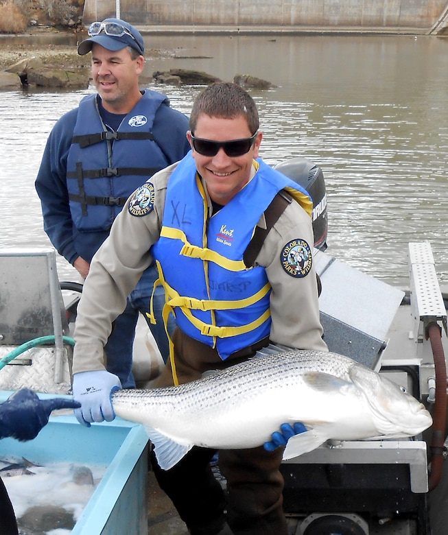 JOHN MARTIN RESERVOIR, Colo. -- A CPW park ranger loads a massive striped bass into the electrofishing boat's holding tank, Nov. 1, 2018.