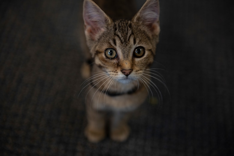 Huxley, a rescue kitten belonging to U.S. Air Force Tech. Sgt. Bethany Zachary, 609th Air Communications Squadron cyber management technician, pauses playtime at Shaw Air Force Base, South Carolina, June 30, 2019