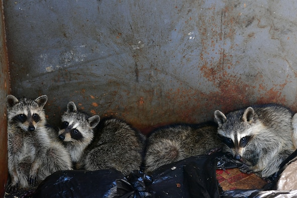 Raccoons huddle in the corner of a dumpster.