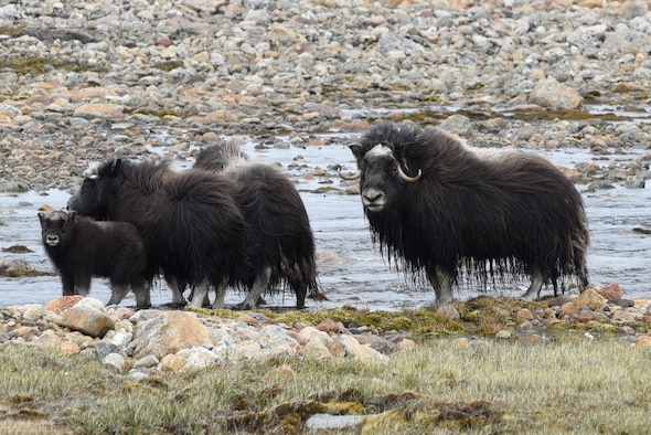 A bull musk ox protects his herd in Thule Air Base, Greenland, July 18, 2019. When a herd feels threatened, they will form a circle around the calves. (U.S. Air Force photo by Staff Sgt. Alexandra M. Longfellow)