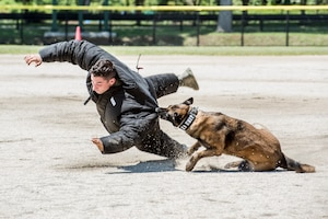 A military working dog takes down a decoy