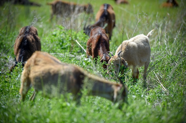 More than 75 goats were brought in to maintain a natural prairie grass restoration project at the 133rd Airlift Wing in St. Paul, Minn., June 5, 2019.
