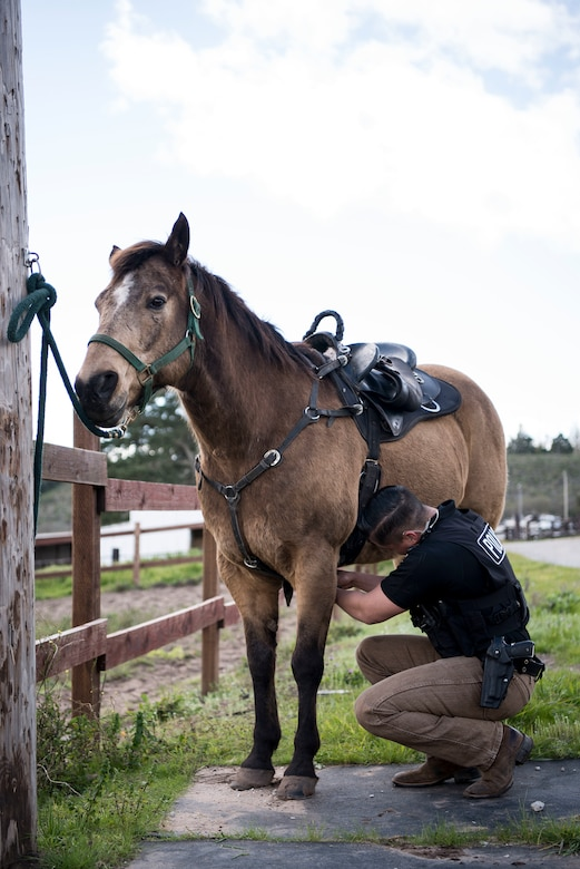 """Senior Airman Michael Terrazas, 30th Security Forces Squadron conservation patrolman, tacks up Military Working Horse """"Buck"""" Feb. 21, 2019, at Vandenberg Air Force Base, Calif. Buck entered active duty service at Vandenberg in 2011. Buck has helped patrol 99,600 acres of hard-to-reach areas on Vandenberg, assisted on scene during riots and protests and has aided local law enforcement agencies in locating missing hikers. (U.S. Air Force photo by Airman 1st Class Hanah Abercrombie)"""