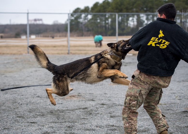 U.S. Air Force Rendi, 633rd Security Forces Squadron military working dog apprehends Senior Airman Anthony Seretis, 633rd Security Forces Squadron military working dog handler at Joint Base Langley-Eustis, Virginia, March 08, 2019.