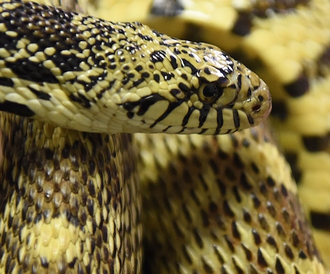 A snake is pictured Feb, 13, 2019, at Malmstrom Air Force Base, Mont. The third week of March is identified as National Poison Prevention Week, and people are encouraged to be vigilant and educate themselves on all areas of potential poisonous accidents and incidents. (U.S. Air Force photo by Airman 1st Class Jacob Thompson)