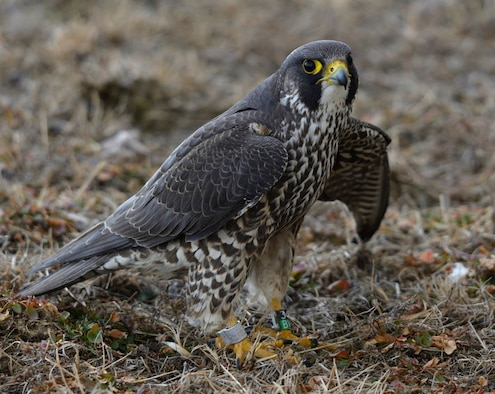 An injured Peregrine Falcon was rescued yesterday.
