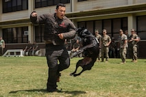 Kelly, a military working dog with the Provost Marshal's Office, Marine Corps Base Hawaii, brings down U.S. Marine Corps Lance Cpl. Johnanthony Anayaburgos, a rifleman with 2nd Battalion, 3rd Marine Regiment, during a demonstration of the installations MWDs, MCBH, Mar. 28, 2019. The MWDs capabilities were presented to U.S. Marine Corps riflemen to have a better understanding of working alongside a K-9 unit in a deployed environment.