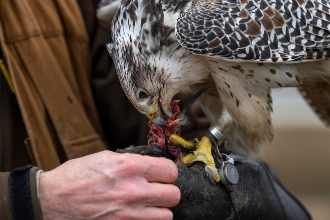 Jens Fleer, 52nd Fighter Wing base falconer, lets his female hawk feed on a crow at Spangdahlem Air Base, Germany, Jan. 16, 2019. Wildlife can cause foreign object damage to aircraft. Fleer uses hawks to keep the sky and flightline clear of pests. (U.S. Air Force photo by Airman 1st Class Valerie Seelye)