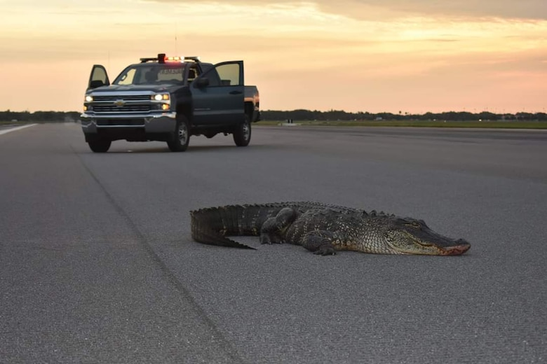 Alligator on MacDill Runway