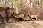 Low-key elk transfer brings high expectations of success